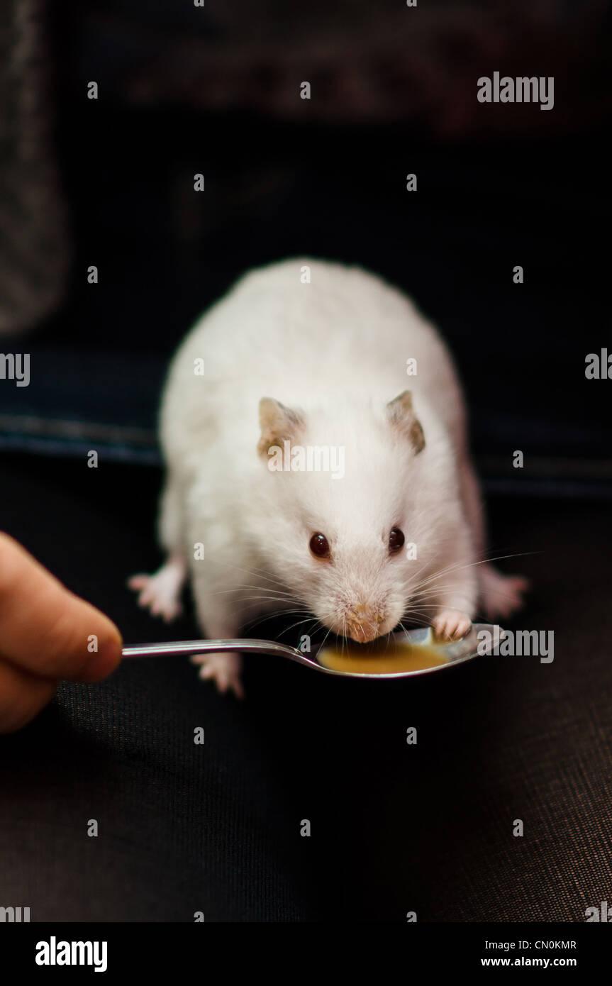 Ein weißer Hamster, braune Flüssigkeit Tee oder Kaffee zu trinken, von einem Teelöffel mit eine Pfote Stockbild