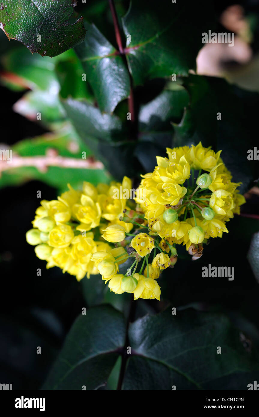 mahonia aquifolium stockfotos mahonia aquifolium bilder. Black Bedroom Furniture Sets. Home Design Ideas