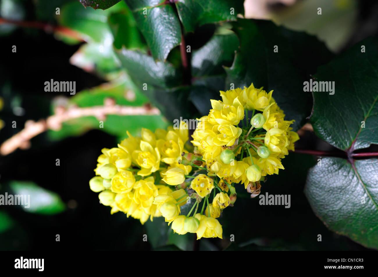 mahonia aquifolium stockfotos mahonia aquifolium bilder. Black Bedroom Furniture Sets. Home Design Ideas