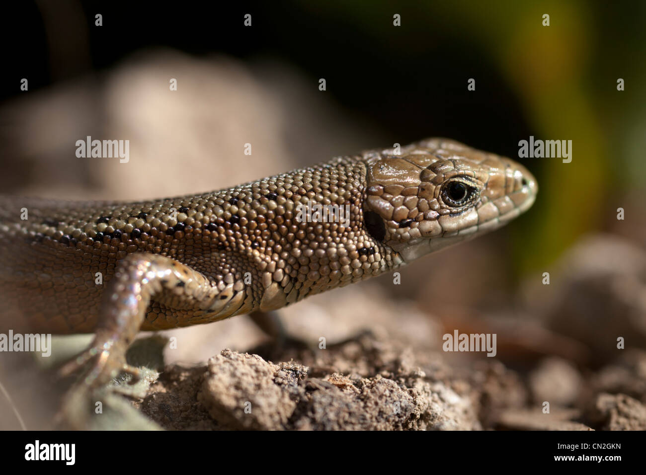 Gemeinsame oder Vivparous Eidechse (Zootoca Vivipara) Stockfoto