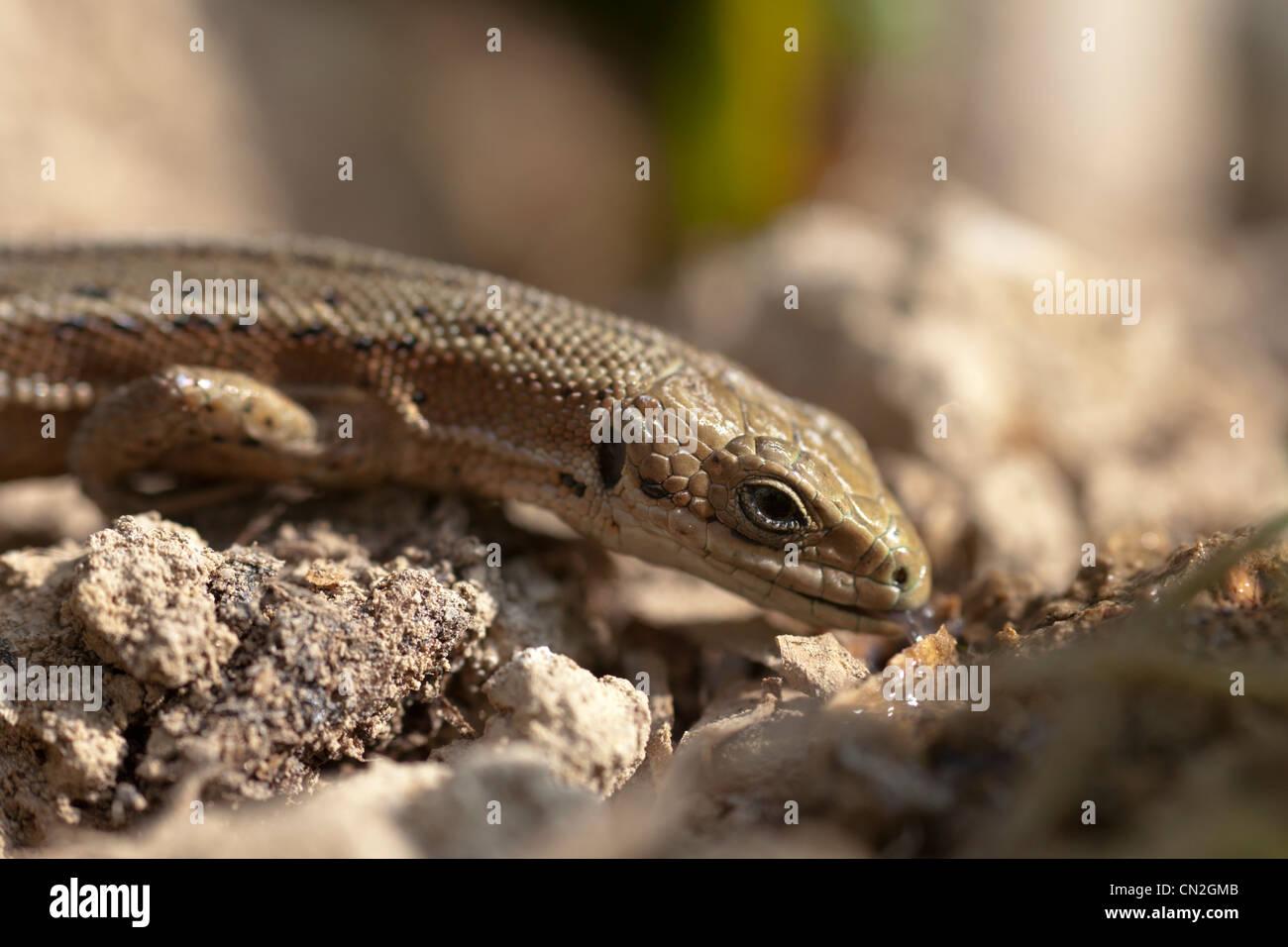 Gemeinsame oder Vivparous Eidechse (Zootoca Vivipara) trinken verschüttet Wasser Stockfoto