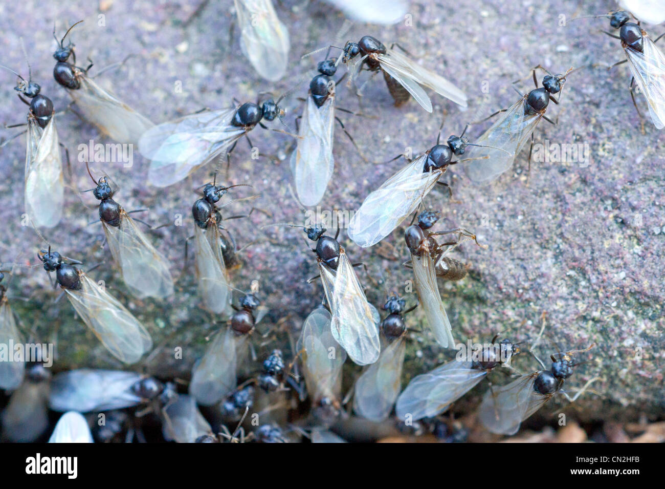 Gut gemocht Fliegende Ameisen bereit für ausziehen Stockfoto, Bild: 47386175 CK75