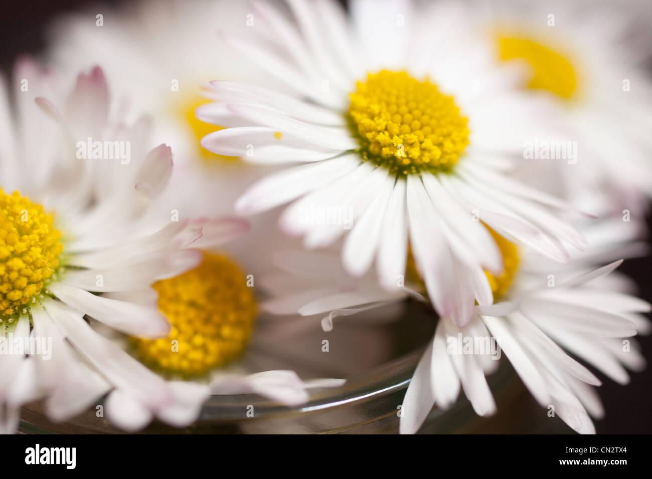 Gänseblümchen, Nahaufnahme Stockbild