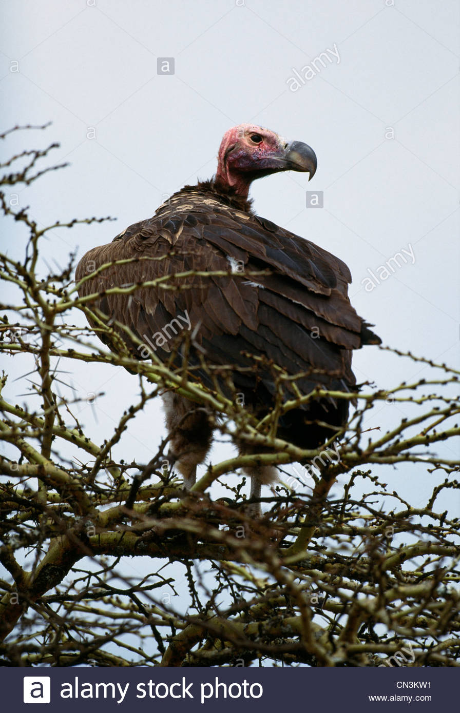 Ohrengeier-faced Vulture, Kenia Stockbild