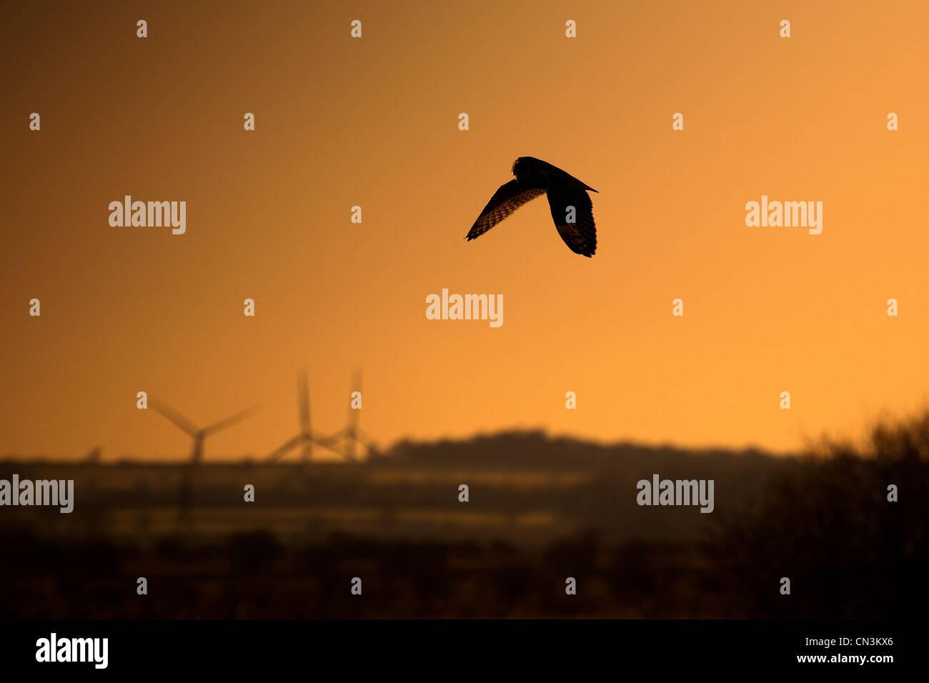 Sumpfohreule - Asio flammeus Stockfoto