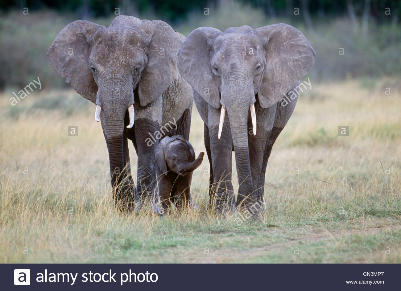 Afrikanische Elefanten und Kalb, Amboseli Nationalpark, Kenia Stockbild