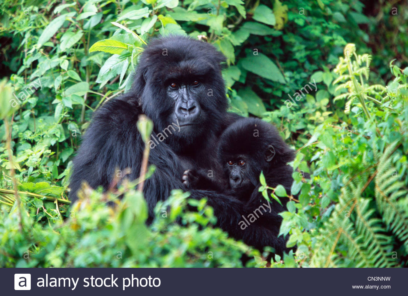 Berggorillas und Baby, Volcanoes-Nationalpark, Ruanda Stockbild