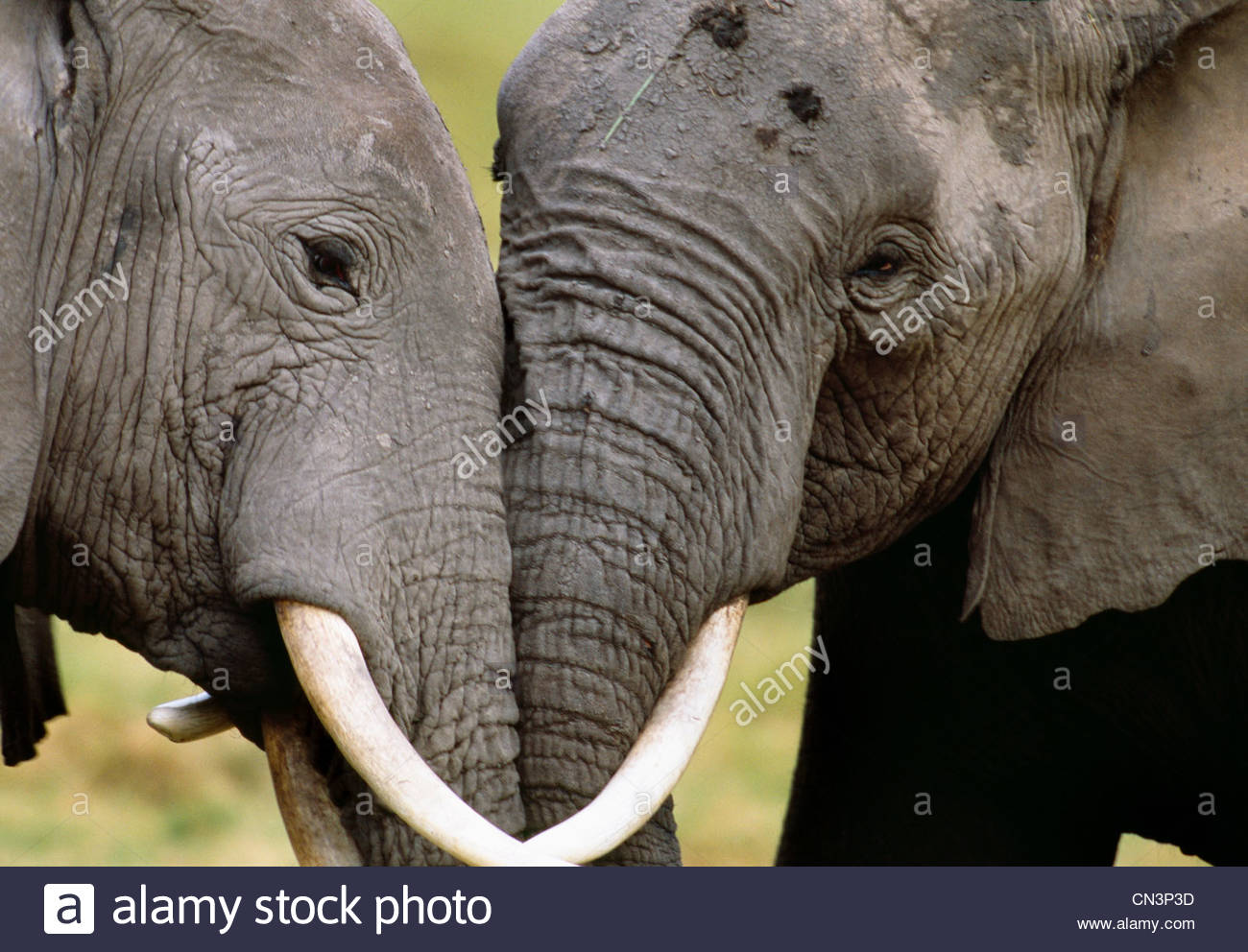 Afrikanische Elefanten, Geselligkeit, Amboseli Nationalpark, Kenia Stockbild