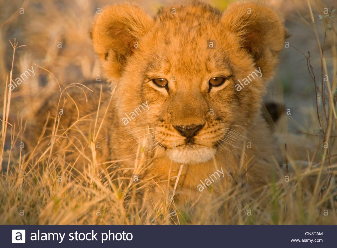 Porträt von einem afrikanischen Löwenjunges, Botswana Stockbild