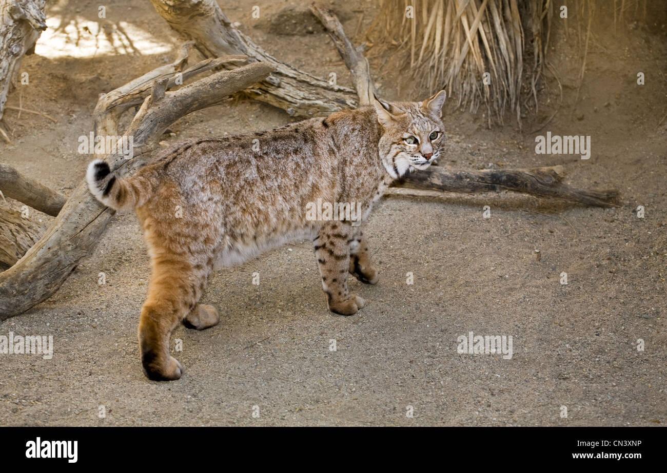 Lynx Rufus Der Gemeinsamen Amerikanischen Bobcat Im Living Desert