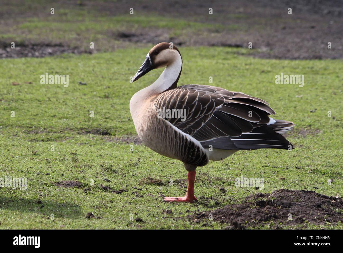 online retailer f9fff d5577 Cygnoides Stockfotos & Cygnoides Bilder - Alamy
