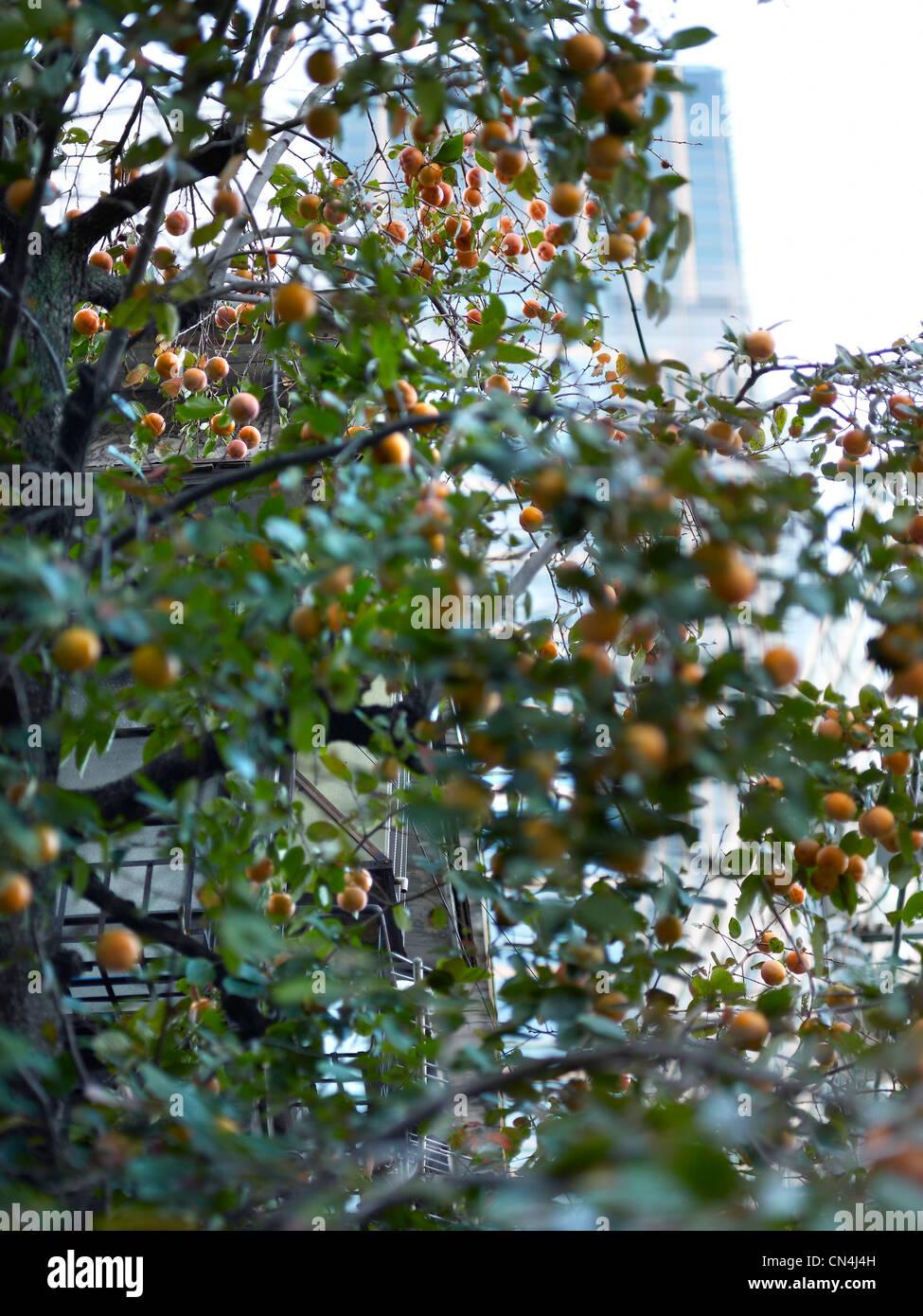 Japan, Tokyo, Feature: der Palast von Tokio, Obstbaum Stockbild
