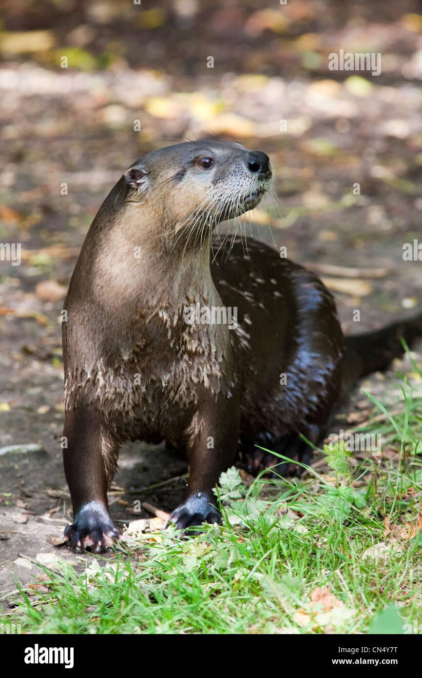 North American River Otter Porträt - Lontra canadensis Stockbild