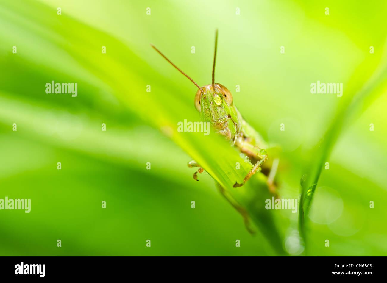 Heuschrecke in der grünen Natur oder im Garten Stockbild