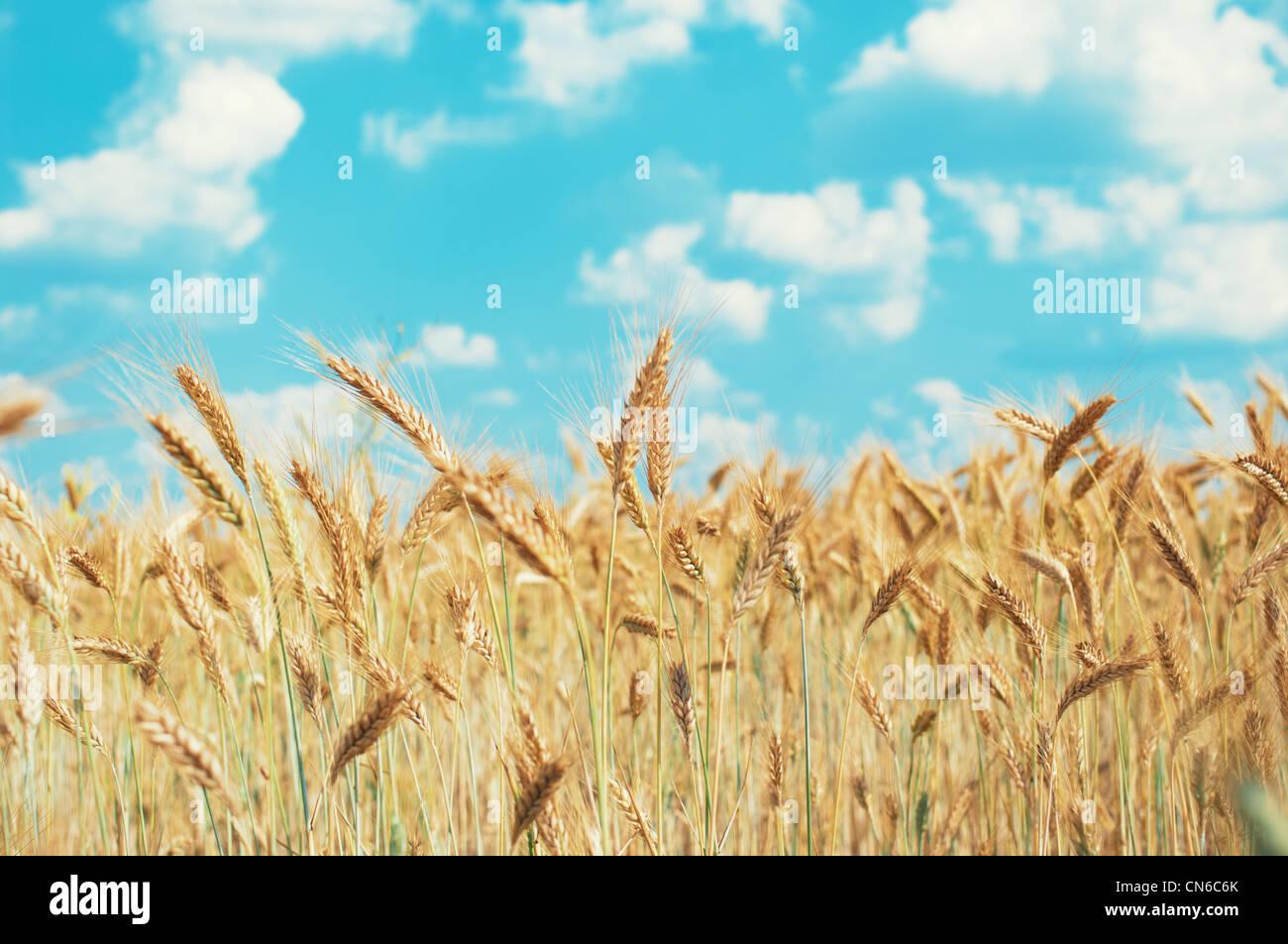 Maisfeld und blauer Himmel im Sommer Stockbild