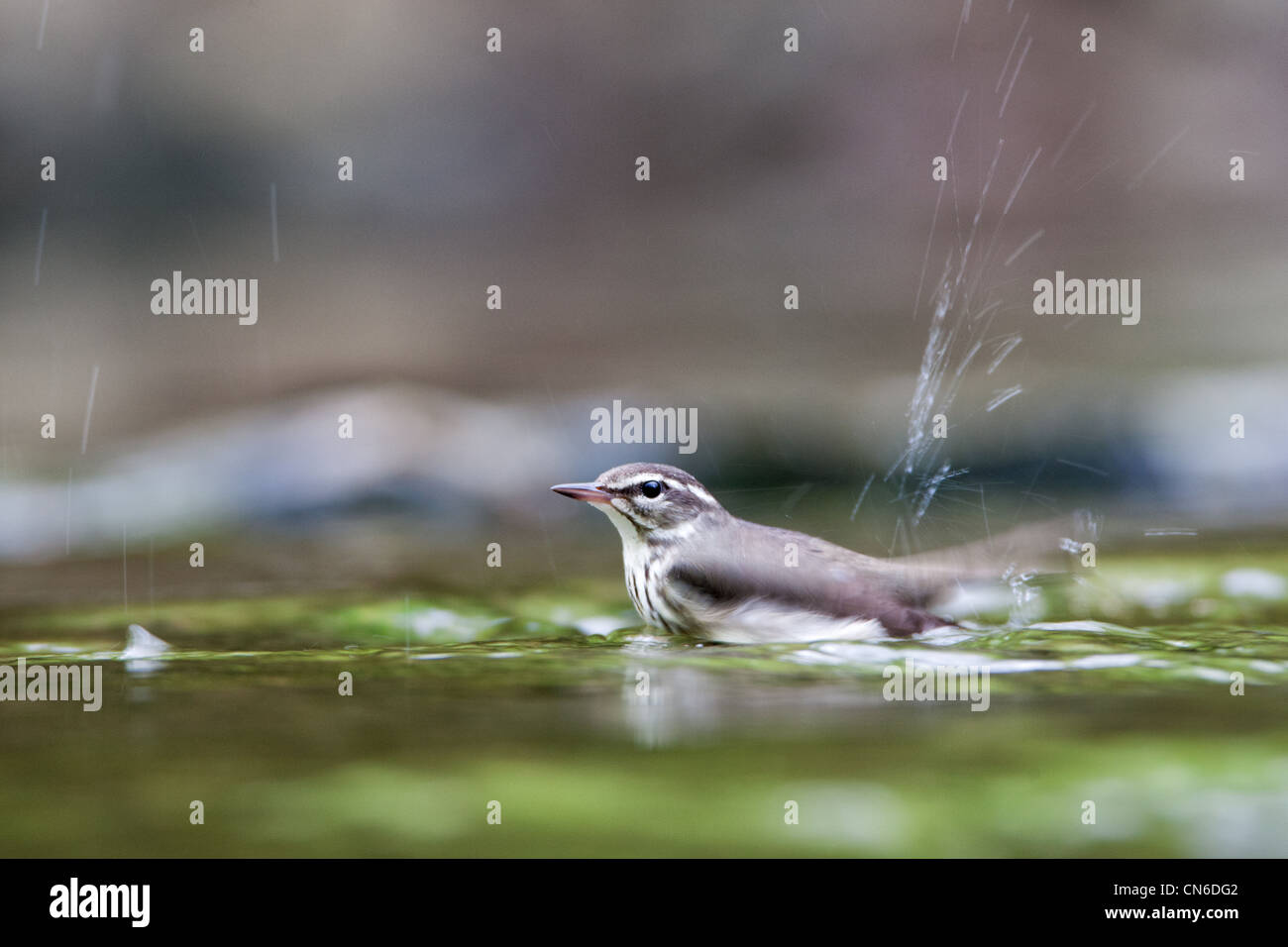 Louisiana Waterthrush im stream Stockbild