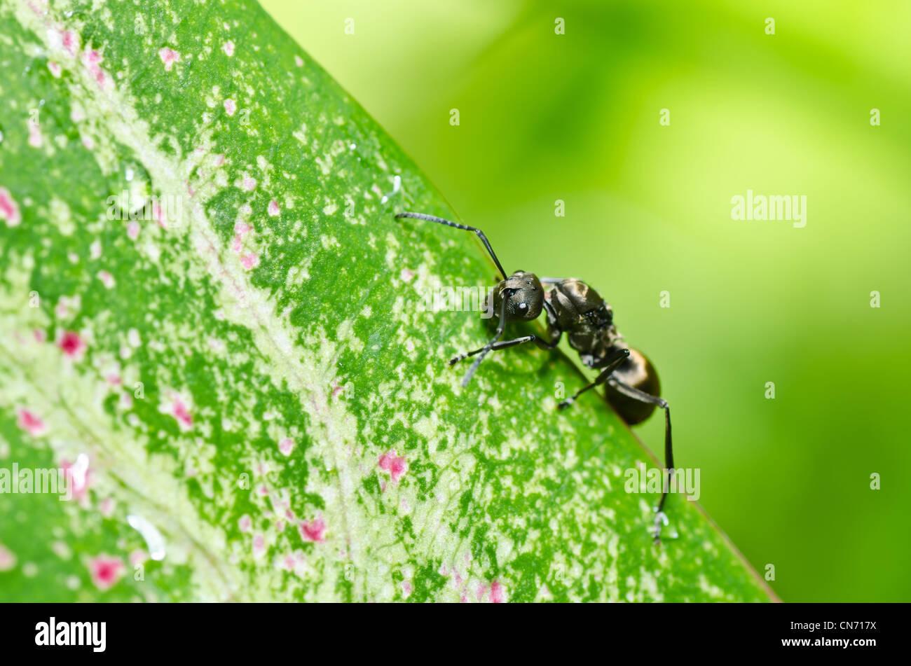 Schwarze Ameise in grüner Natur oder im Garten Stockbild
