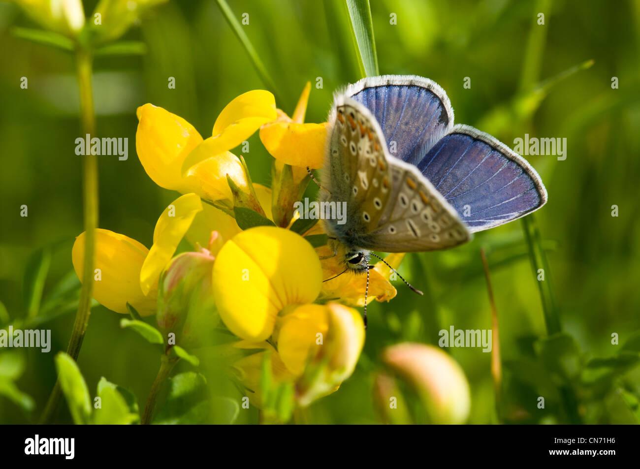 Einen männlichen gemeinsamen blauen Schmetterling Fütterung auf bird'sfoot Kleeblatt in eine Wildblumenwiese Stockbild