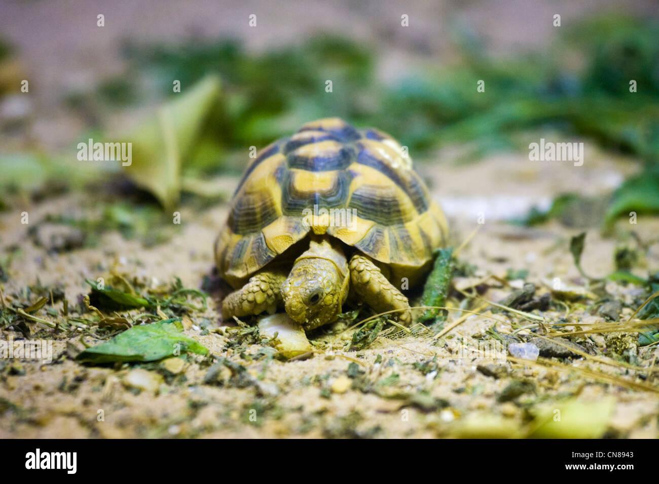 Ägyptische landschildkröte kaufen