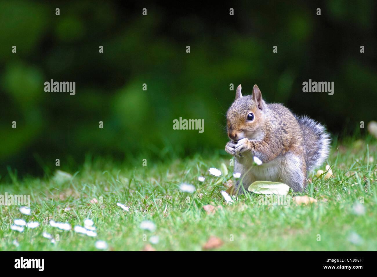 squirrel stockfotos squirrel bilder alamy. Black Bedroom Furniture Sets. Home Design Ideas