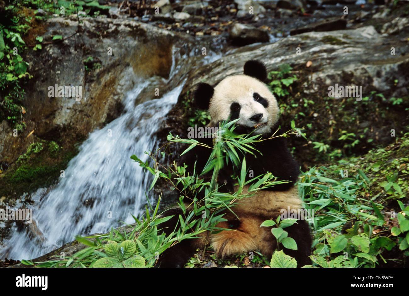 Giant Panda Cub Essen Bambus Am Wasserfall Wolong Sichuan China