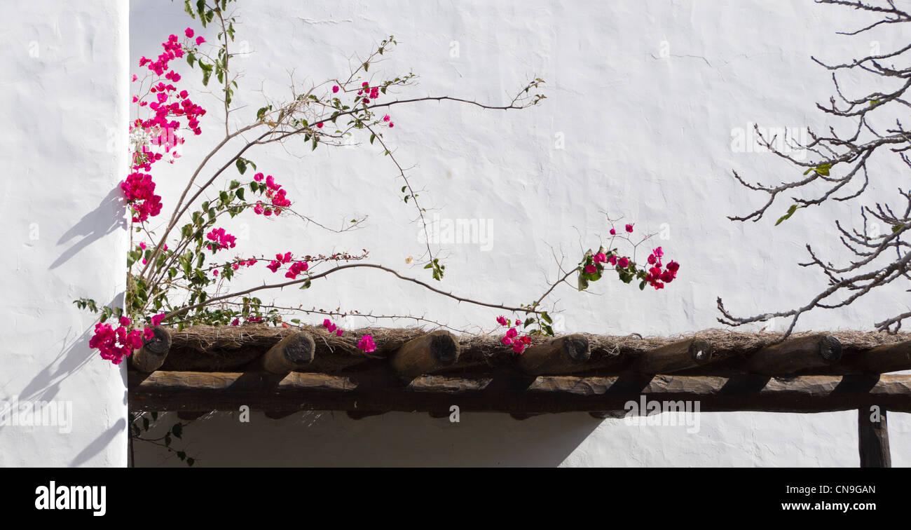Abstrakte weiße Wand und bougainvillea Stockbild