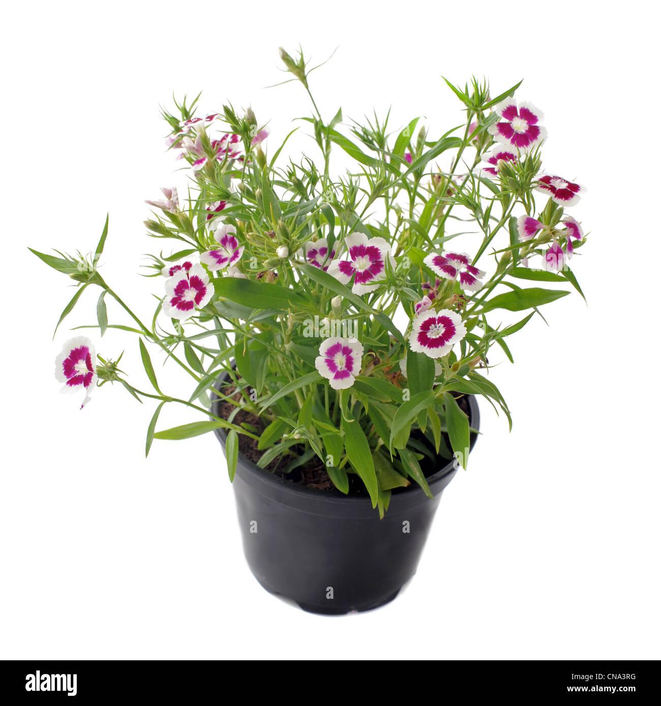 Nahaufnahme von französische Ringelblume, Tagetes Patula, vor weißem Hintergrund Stockfoto