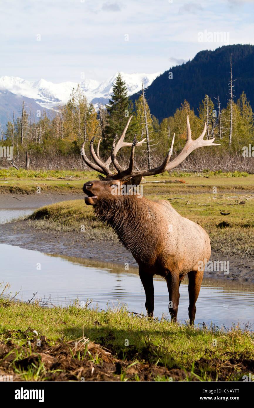 CAPTIVE: Roosevelt Elk steht neben einem kleinen Teich und Trompeten, Alaska Wildlife Conservation Center in Alaska. Stockbild