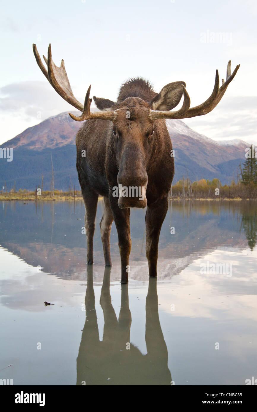 CAPTIVE: Elchbullen führt durch Flut Wasser, Alaska Wildlife Conservation Center, Yunan Alaska, Herbst Stockbild