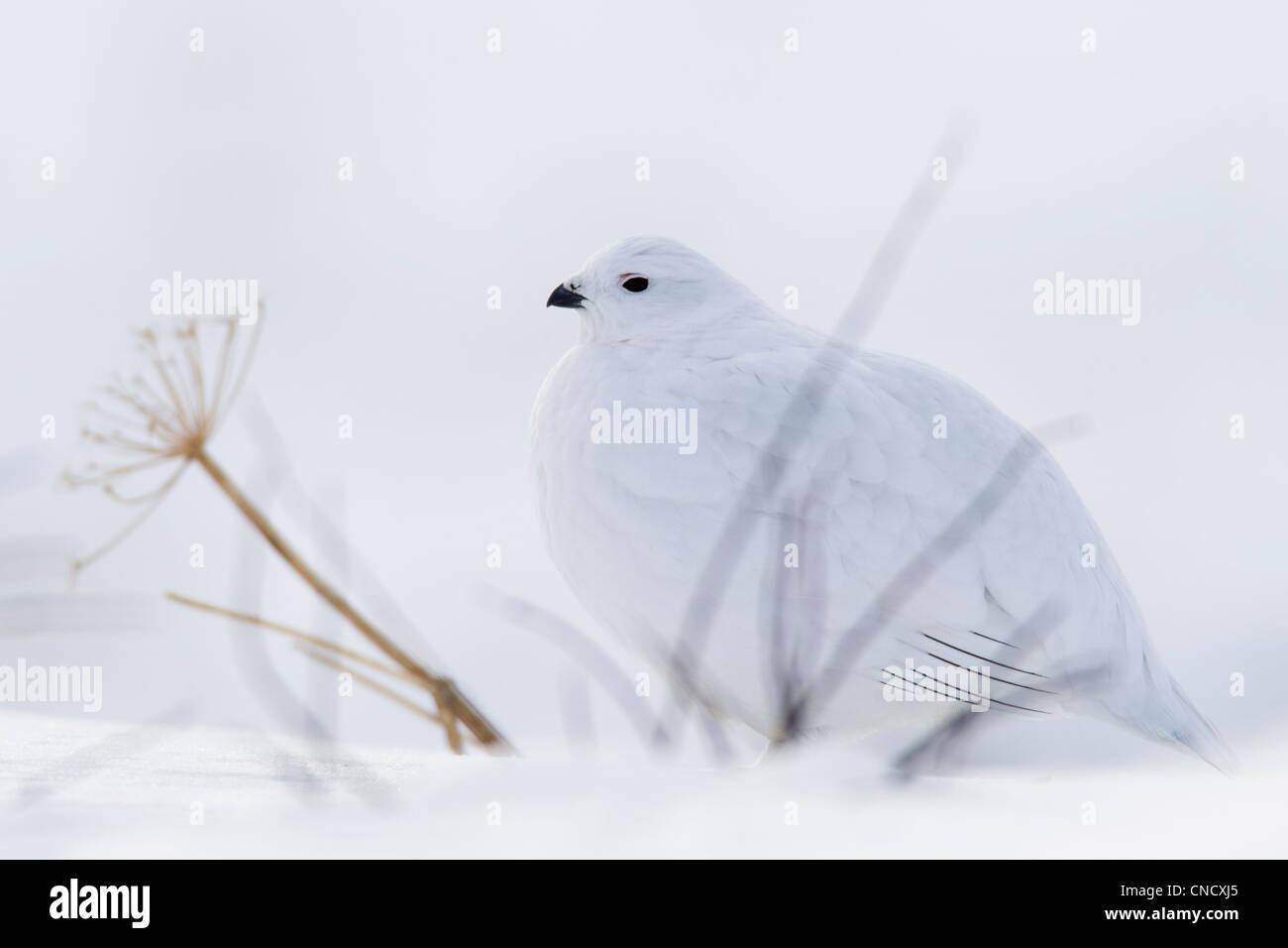 Willow Ptarmigan im weißen Winterkleid sitzen hinter kahlen Äste auf Schneedecke, Chugach Mountains, Alaska, Stockbild