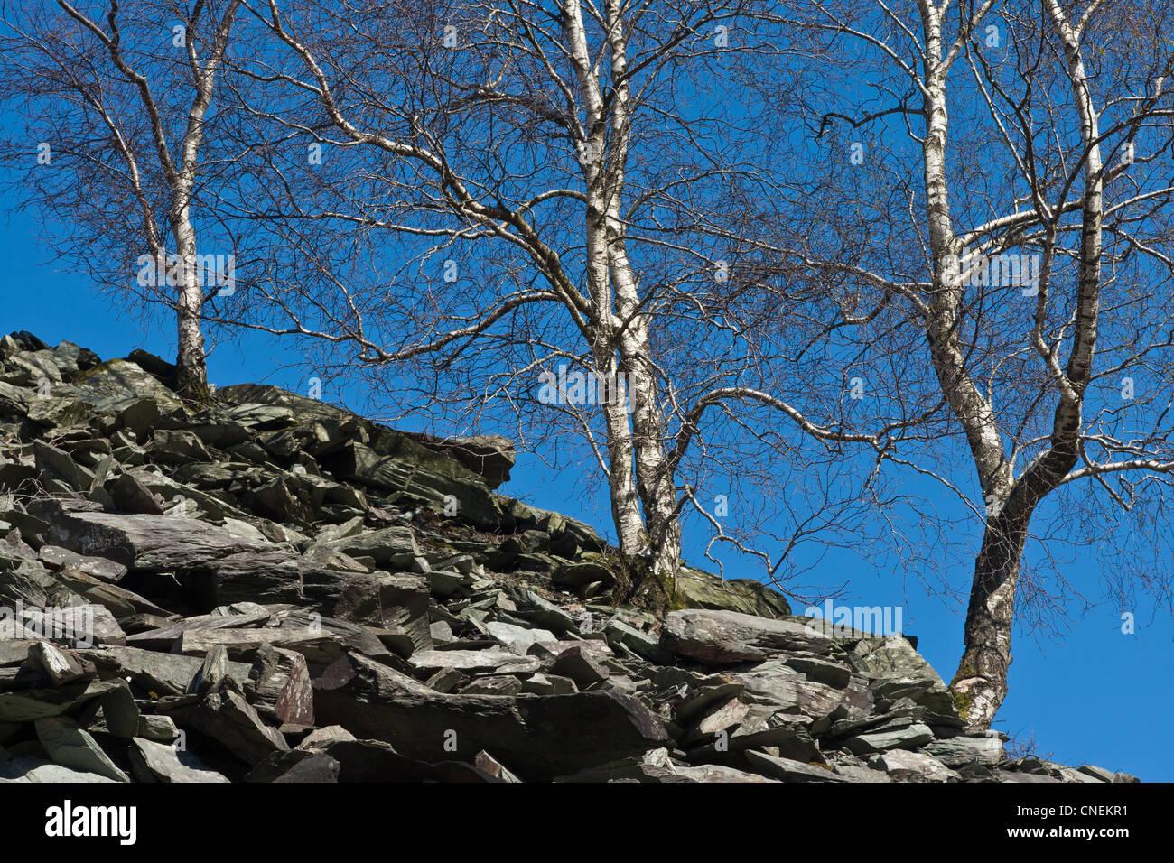 Birken wachsen aus Schiefer verwöhnen Heap, Great Langdale, Cumbria Stockbild