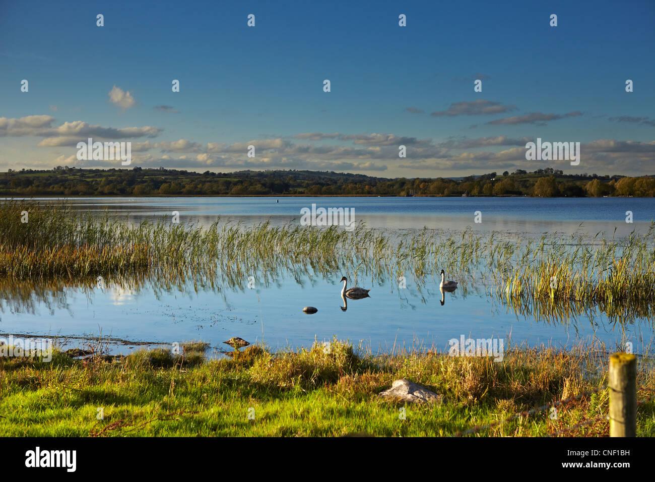 Schwäne am Llangorse See, Brecon Beacons National Park, Wales, UK Stockbild
