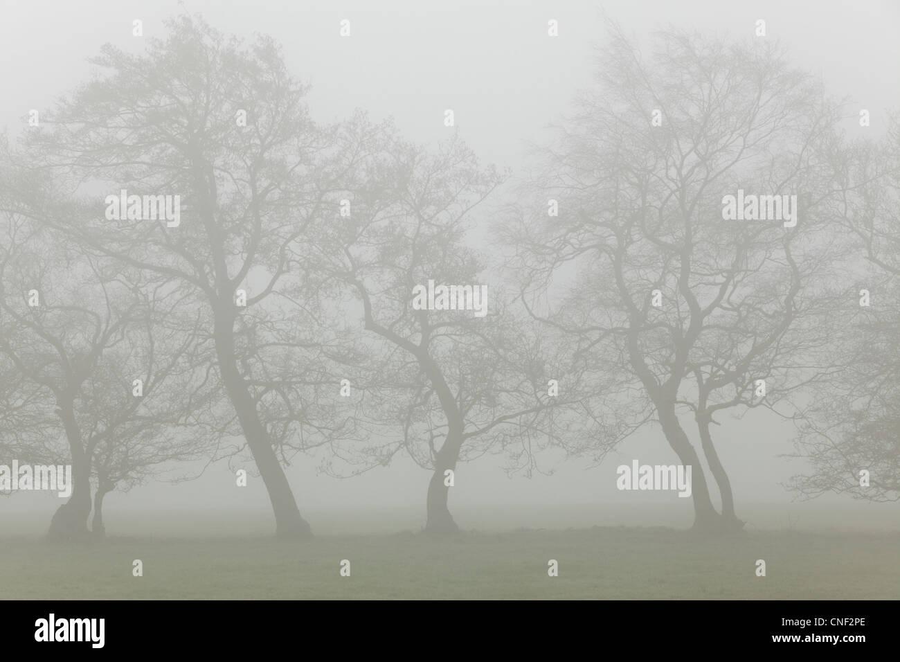 Silhouetten von Nebel eingehüllt Bäumen an einem nebligen Frühlingsmorgen in Yorkshire Stockbild
