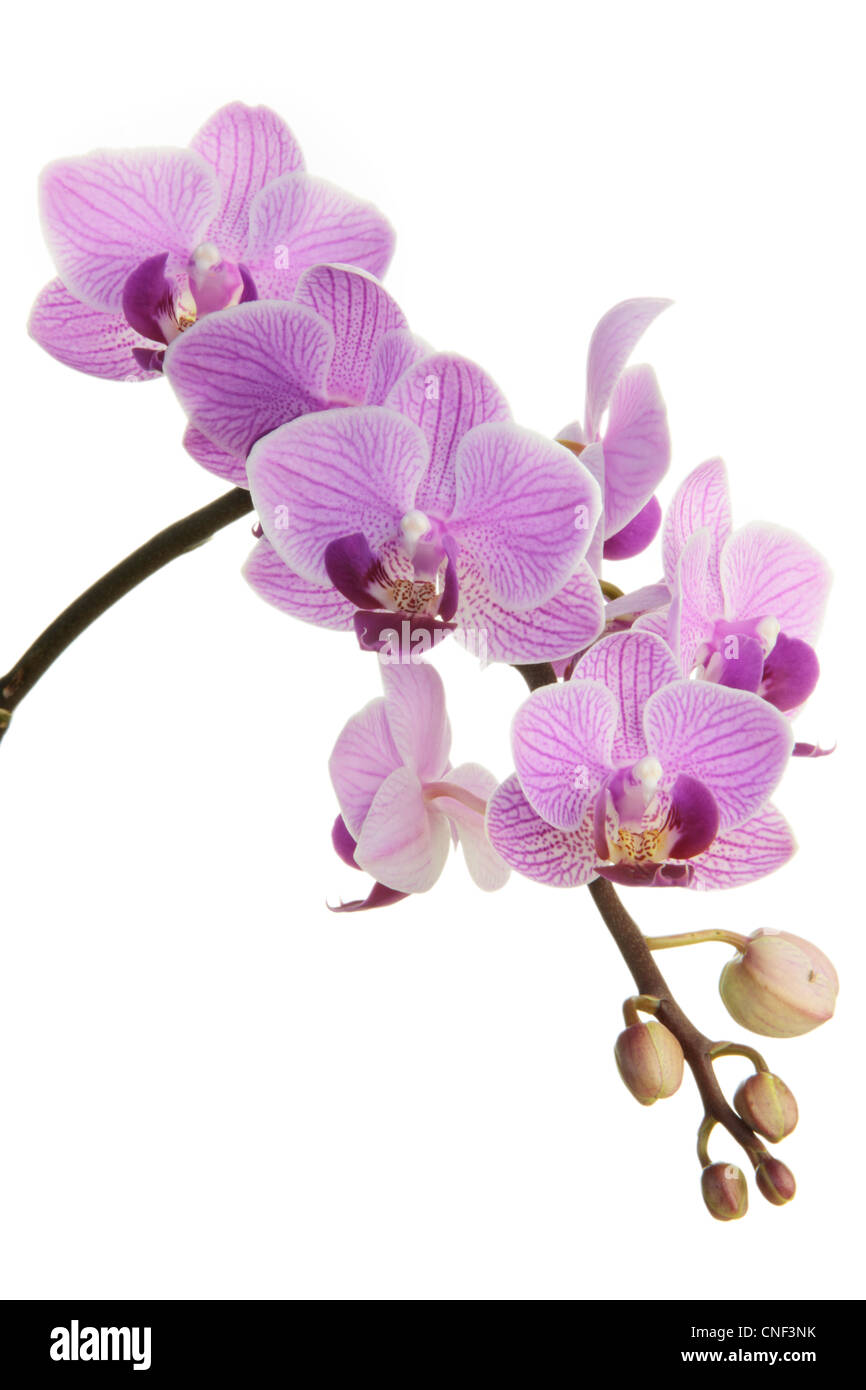 Lila Orchideen im Frühjahr auf weißem Hintergrund Stockbild