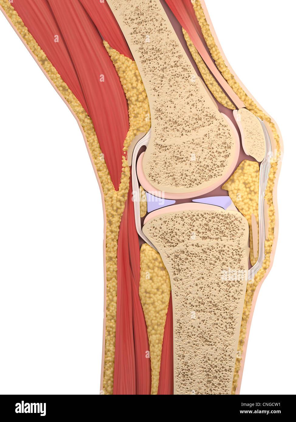 Knie-Anatomie-Kunstwerk Stockfoto, Bild: 47689853 - Alamy