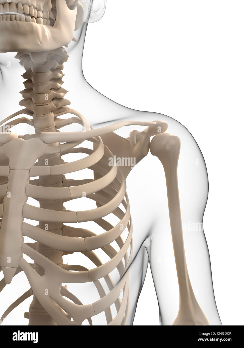 Groß Brust Anatomie Knochen Zeitgenössisch - Menschliche Anatomie ...