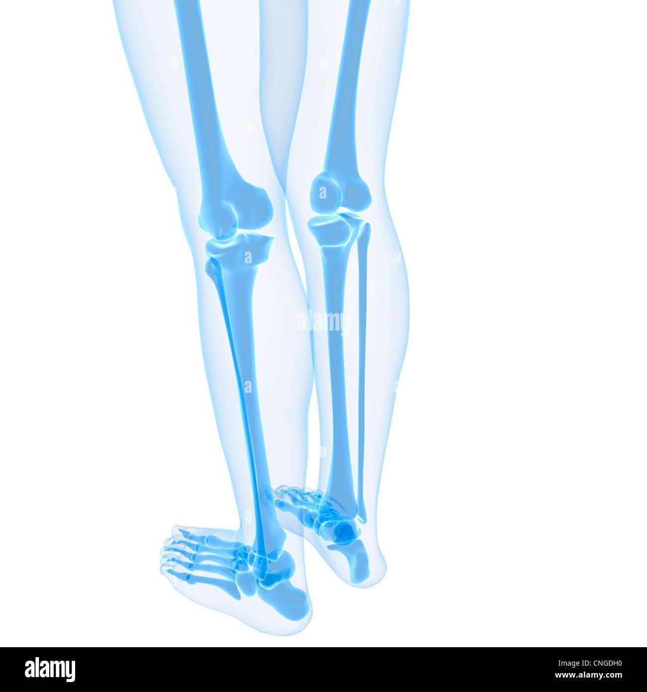 Ausgezeichnet Knochen Im Bein Zeitgenössisch - Physiologie Von ...