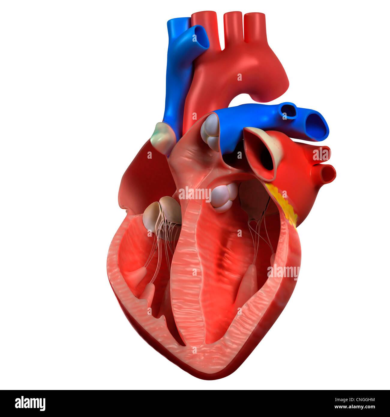 Atemberaubend Interaktive Herzanatomie Fotos - Menschliche Anatomie ...