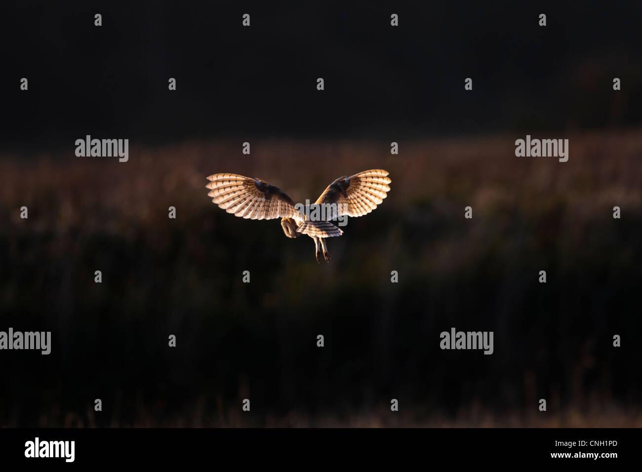 Eine Schleiereule, tyto Alba, im Flug und mit Hintergrundbeleuchtung von Dawn Licht Stockfoto