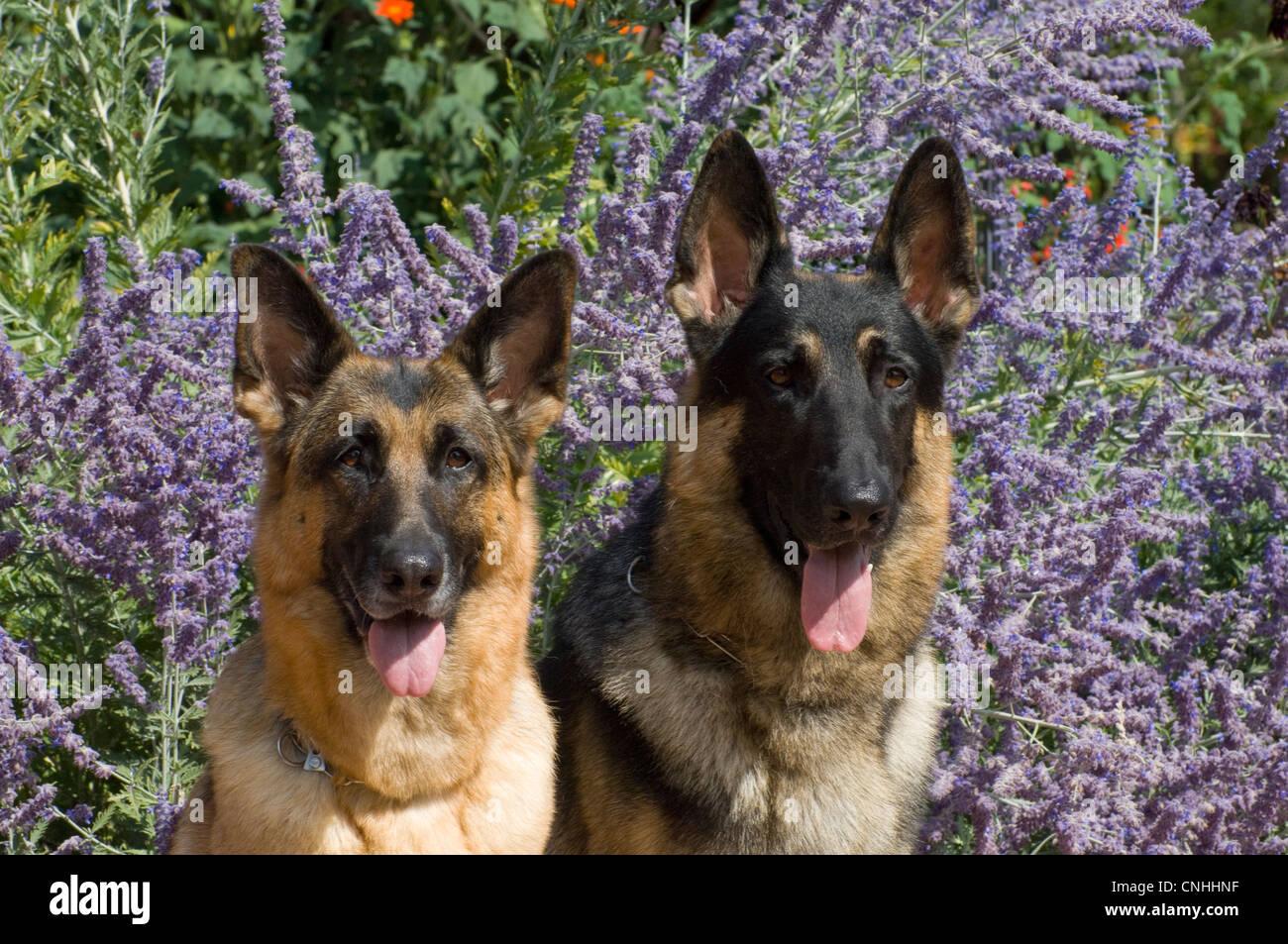 Zwei Deutsche Schäferhunde vor Blumen-Kopfschüsse Stockbild