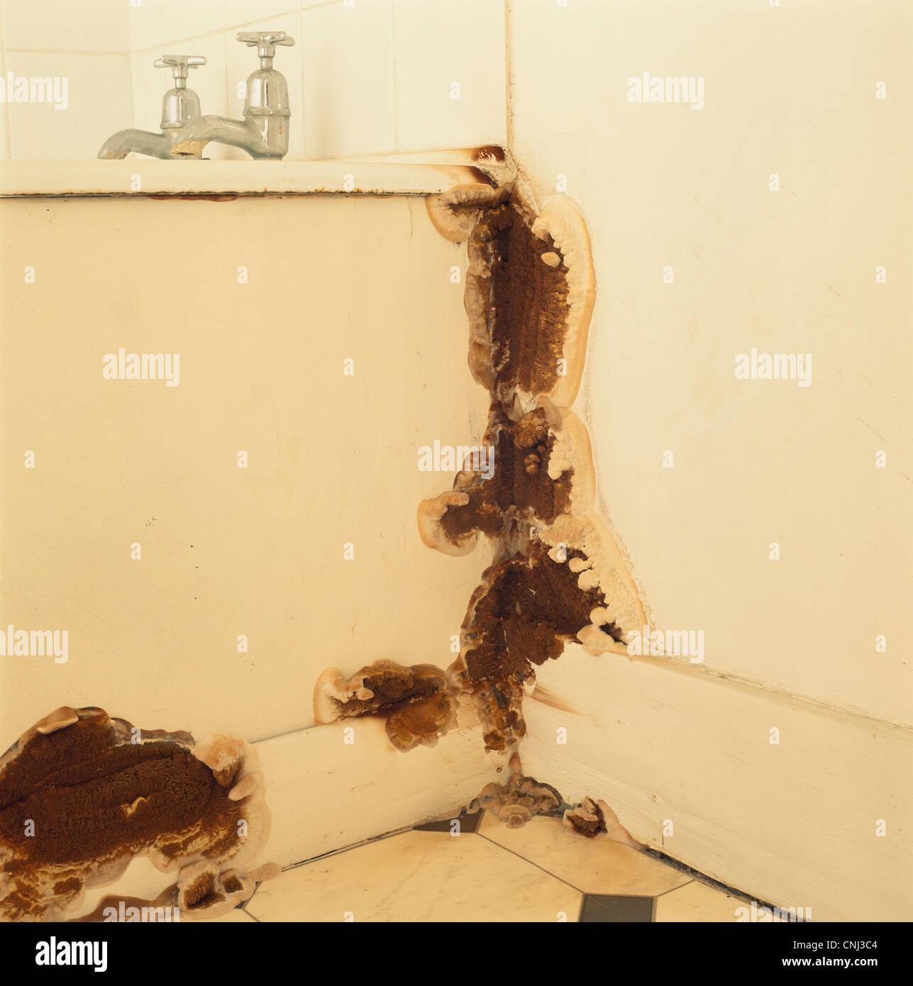 Hausschwamm Pilz Fruchtkörper im Badezimmer UK Stockfoto, Bild ...