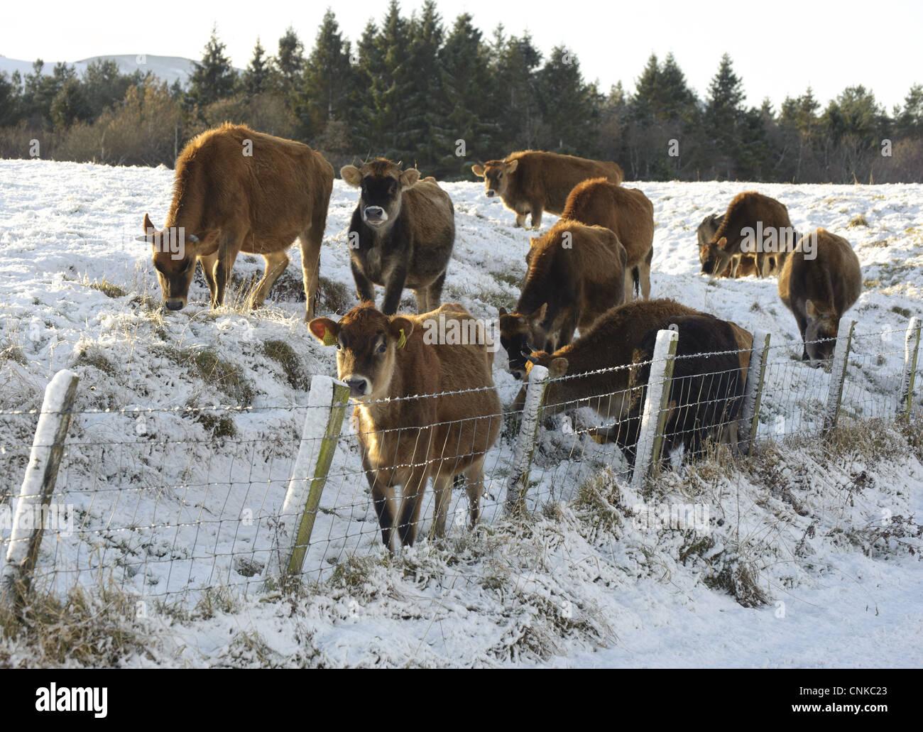 Inländischen Vieh Jersey Färsen Herde neben Draht Zaun Rand tief ...