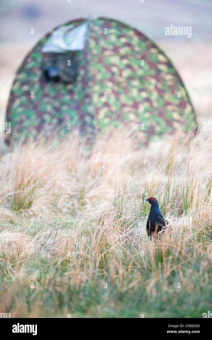 Birkhuhn; At-Tetrix; Fotografie der männlichen; Lekking; Schottland; UK Stockbild