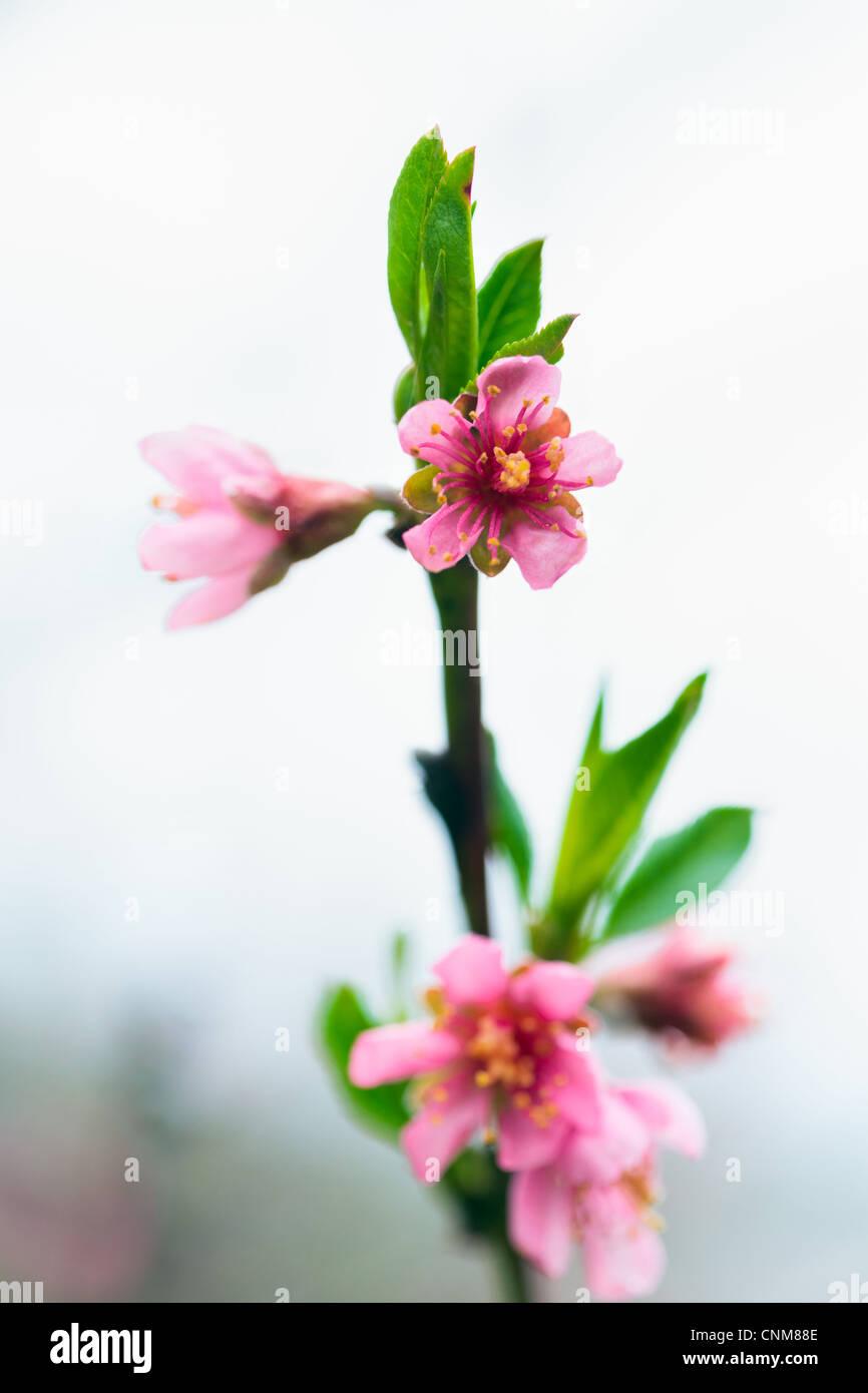 Nahaufnahme von einem Pfirsich Ast mit rosa Blüten im Frühling Stockbild