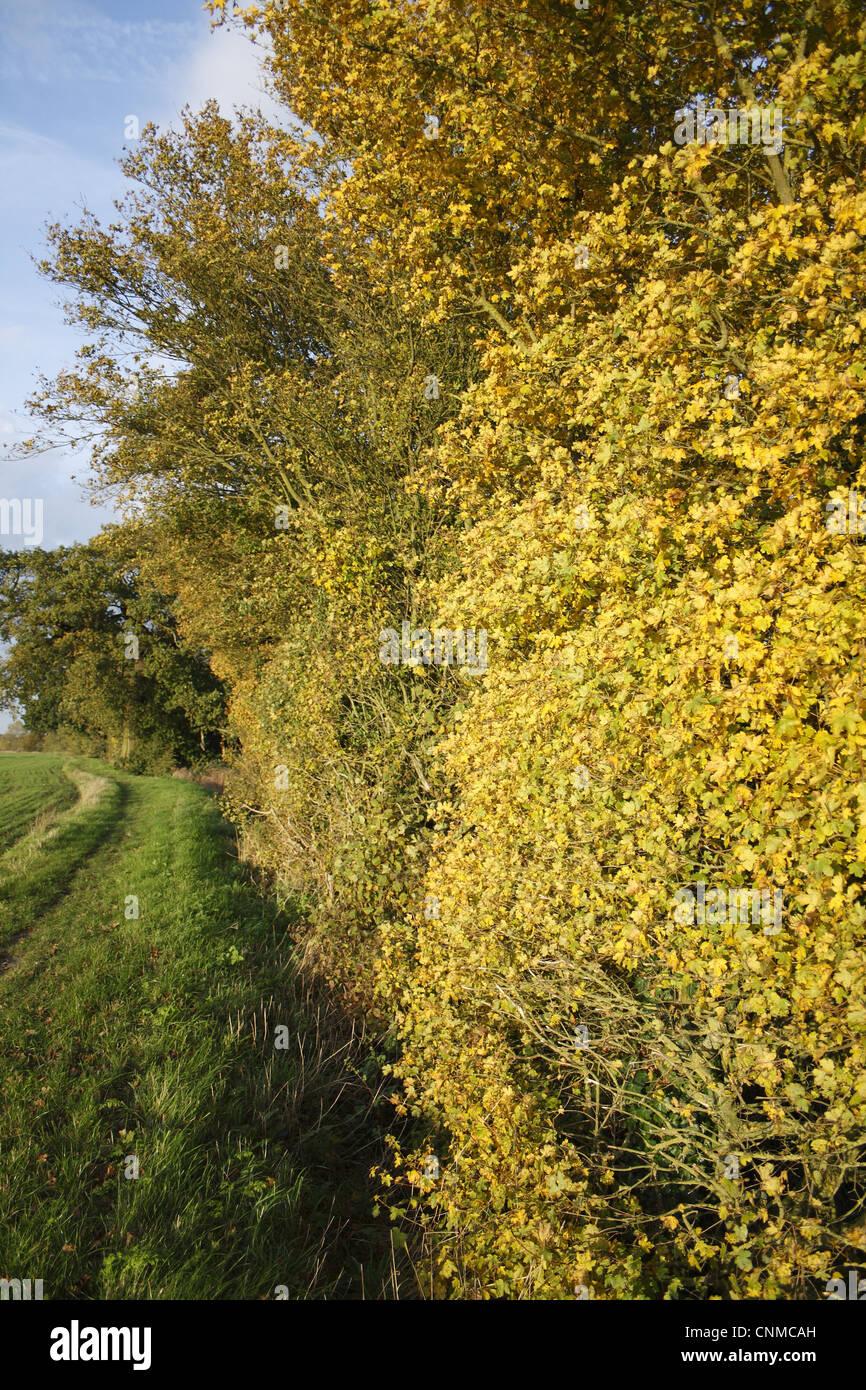 Acer Campestre Autumn Uk Stockfotos & Acer Campestre Autumn Uk
