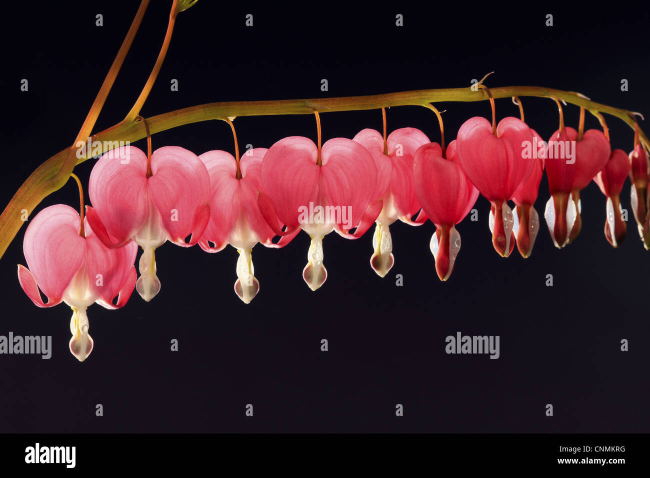 tr nendes herz dicentra spectabilis nahaufnahmen von blumen stockfoto bild 47783108 alamy. Black Bedroom Furniture Sets. Home Design Ideas