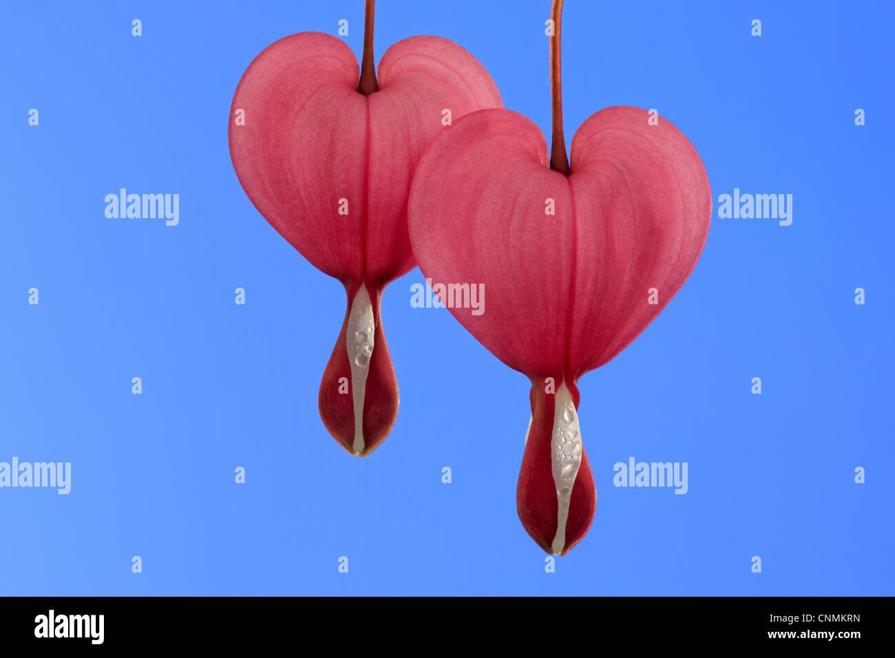 Tränendes Herz (Dicentra Spectabilis) Nahaufnahme Von Zwei