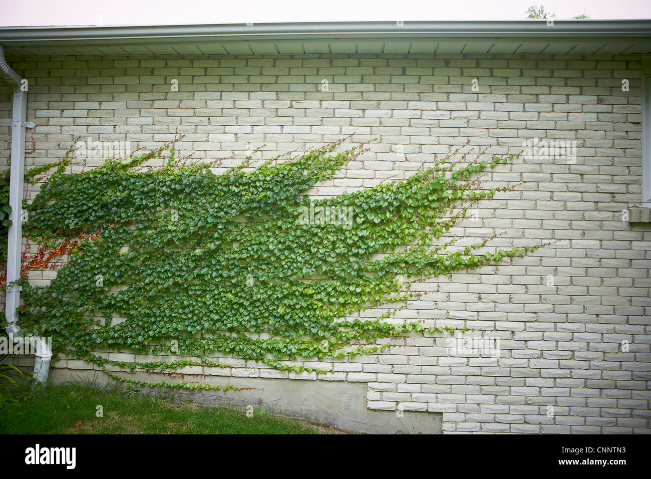 Efeu an der Mauer, Bradford, Ontario, Kanada Stockfoto