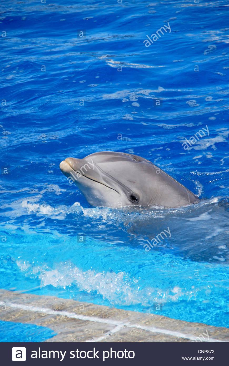 Ein Delfin mit dem Kopf aus dem Wasser Stockfoto