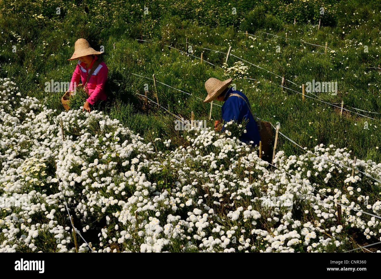 Chinesische Frauen Kommissionierung weiß huangshan Berg Tribut Chrysanthemen für Tee in Huizhou, Provinz Stockbild